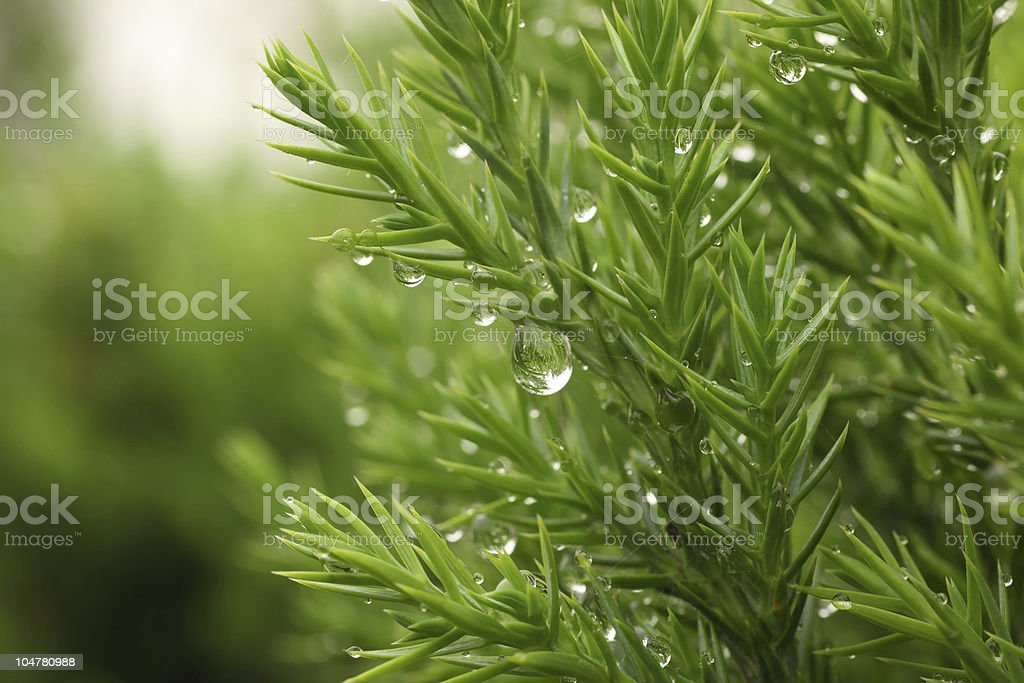 Rain drop on fresh pine tree royalty-free stock photo