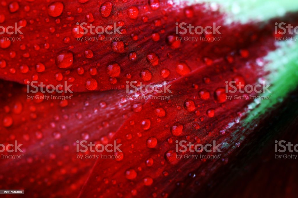 Rain drops on a red bloom stock photo