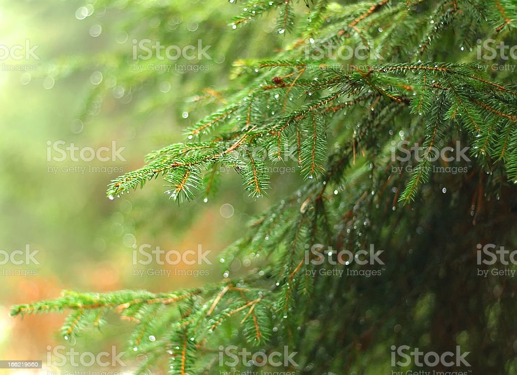 rain drops on branch royalty-free stock photo