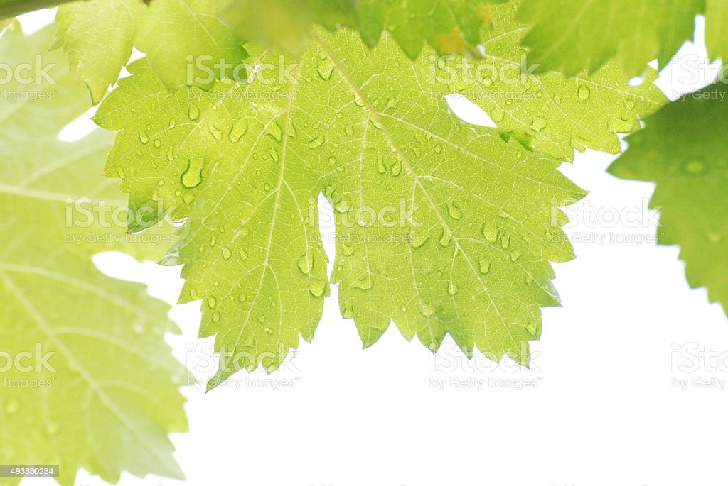 Rain drops on grape leaves sunlight on white background. stock photo