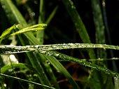 Rain drops on grass blade after rain
