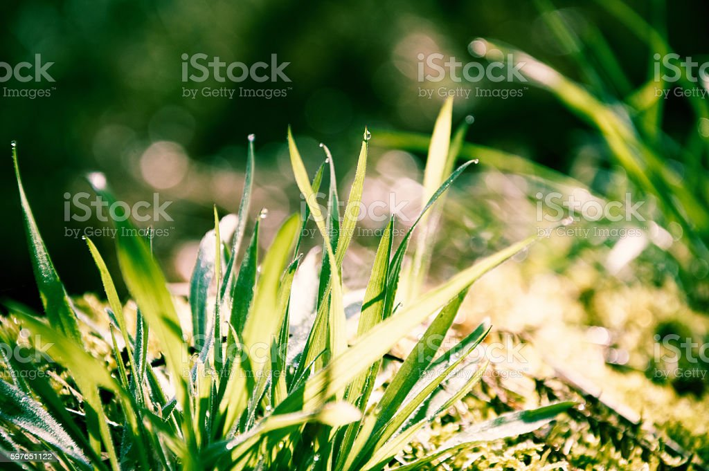 Rain drops on grass in the morning stock photo