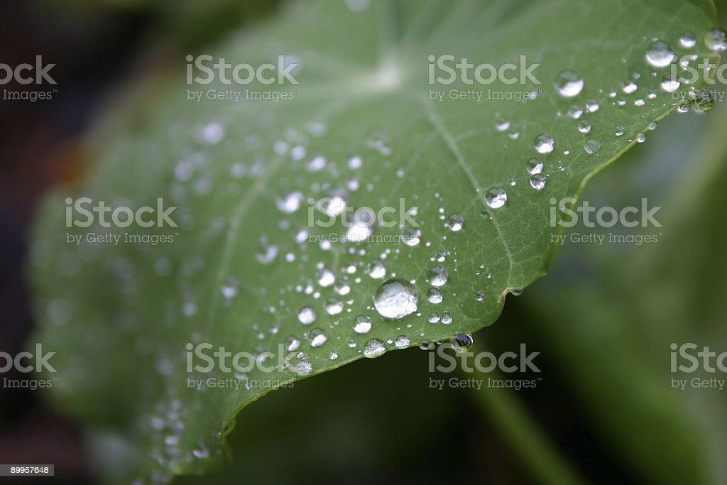 rain drops on nasturtium leaf umbrella royalty-free stock photo
