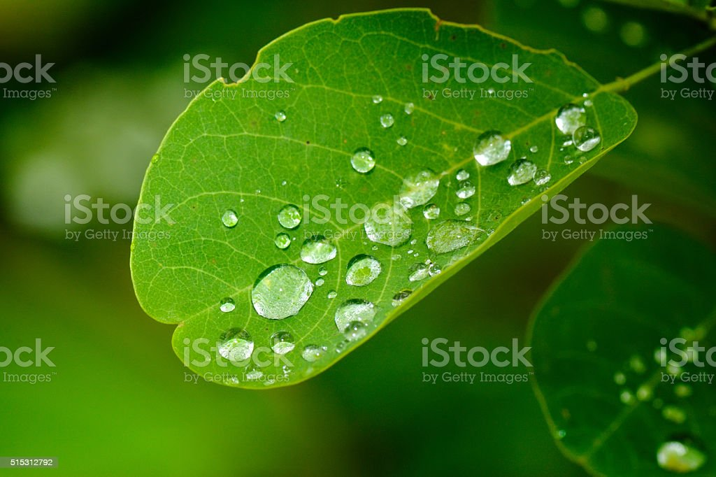 rain drops on the leaves stock photo