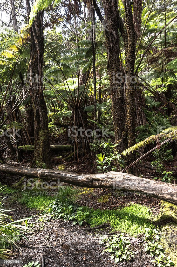Rain forest around Thurston Lava Tube, Big Island, Hawaii stock photo