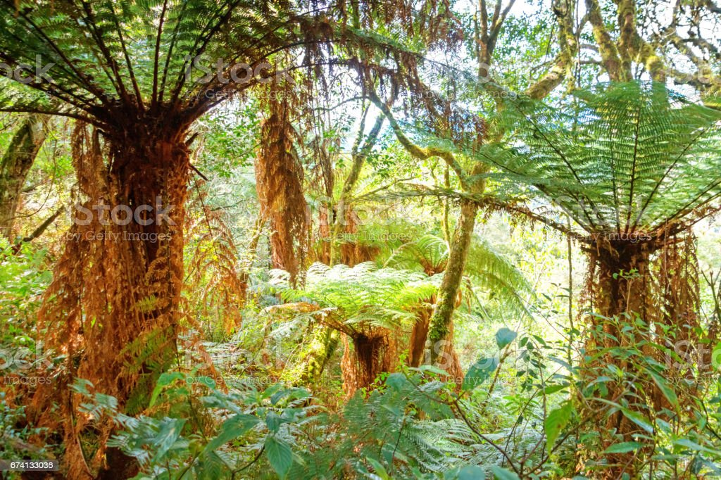 Rain Forest with giant tree ferns in Amboro National Park in Bolivia stock photo