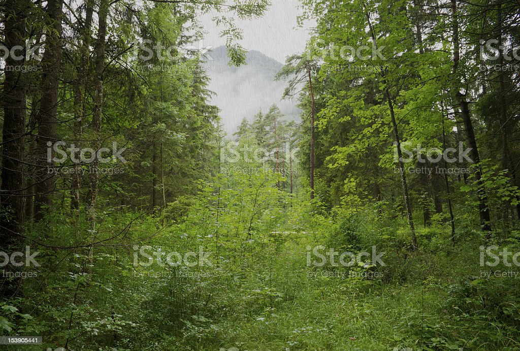 Rain in Forest royalty-free stock photo