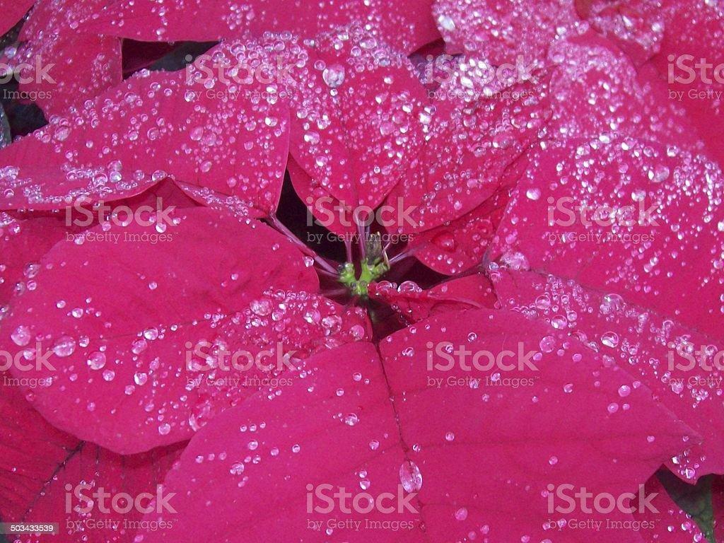 Rain Kissed Poinsetta stock photo
