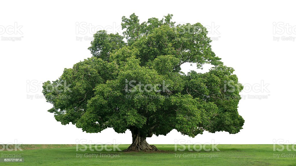 Rain large tree (Albizia saman), tropical tree in the northeast stock photo