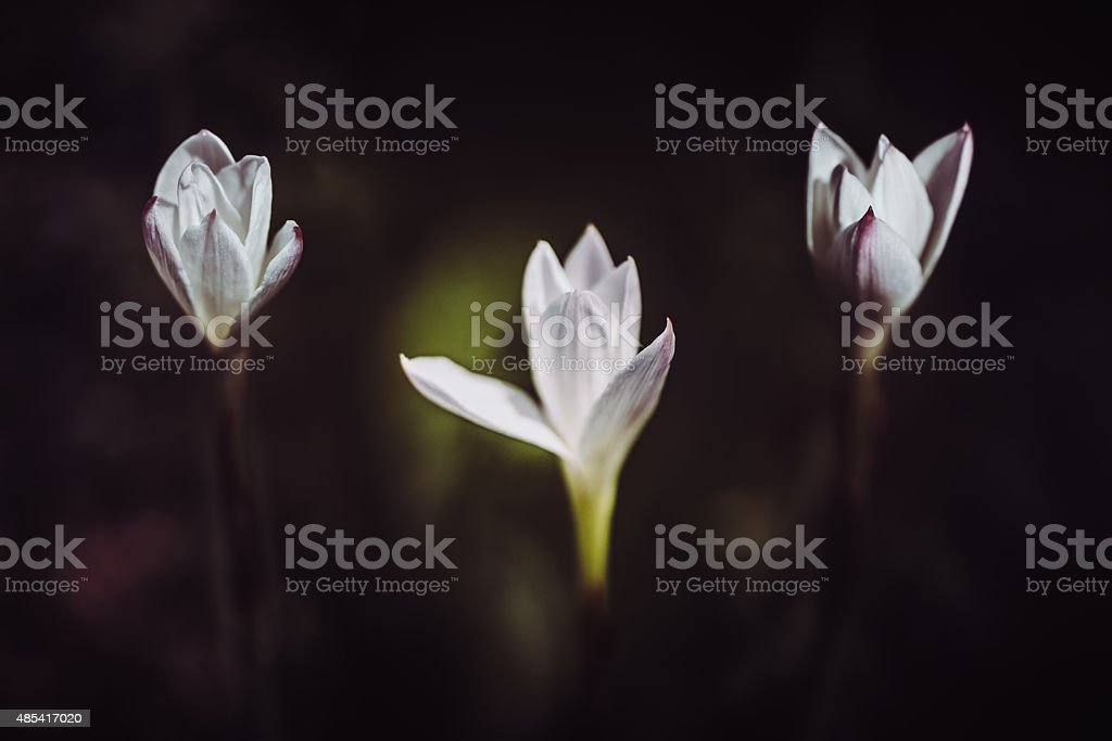 Rain lilies stock photo
