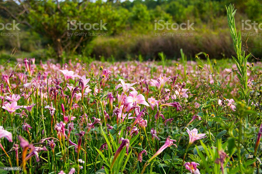 Rain Lily field - 1 stock photo