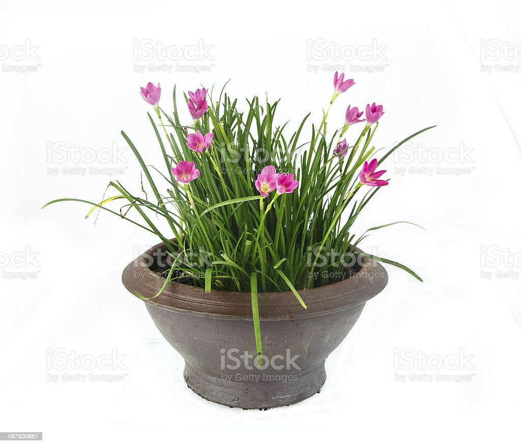 Rain Lily -Zephyranthes spp. flower in pot on white stock photo