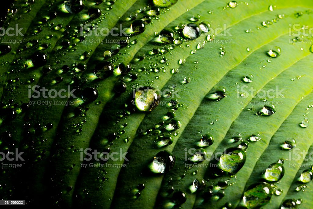 Rain Plant Leaf stock photo