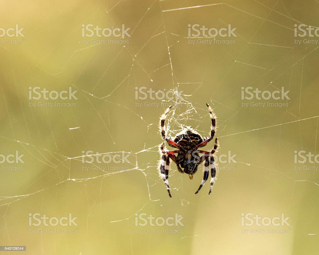 Rain Spider (Palystes superciliosus) stock photo