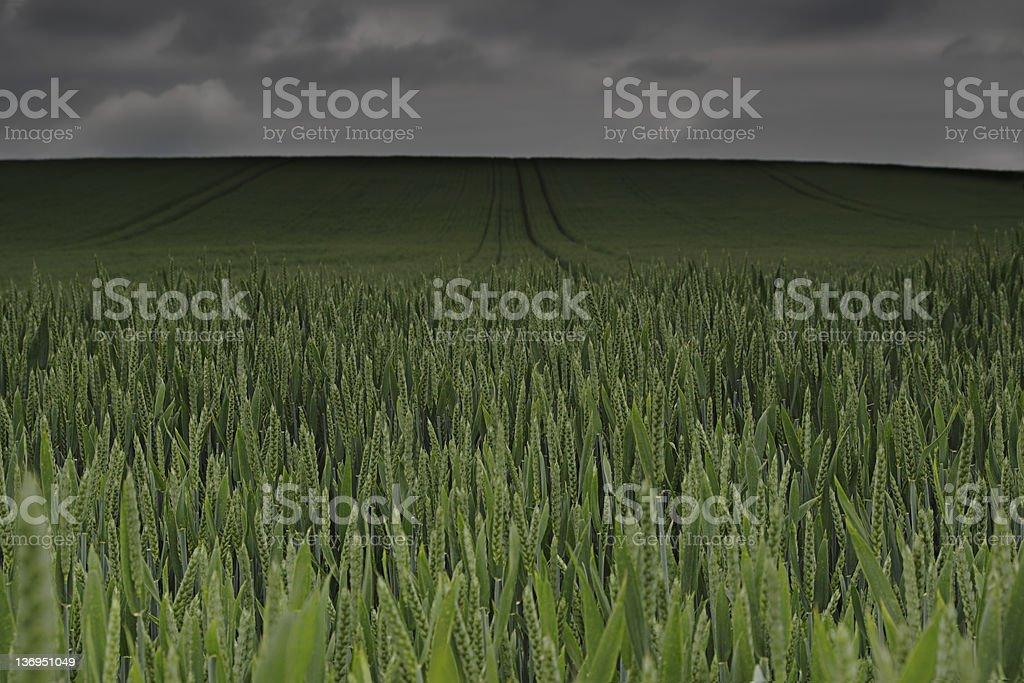 Rain Storm over Wheat Field royalty-free stock photo