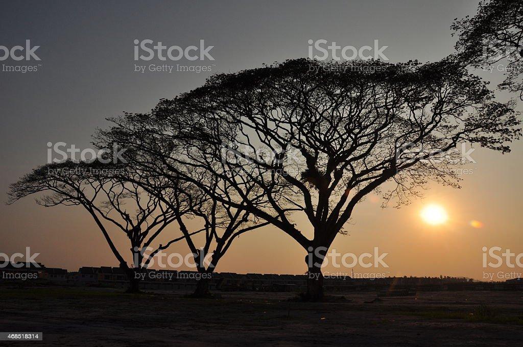 rain tree and sunset stock photo