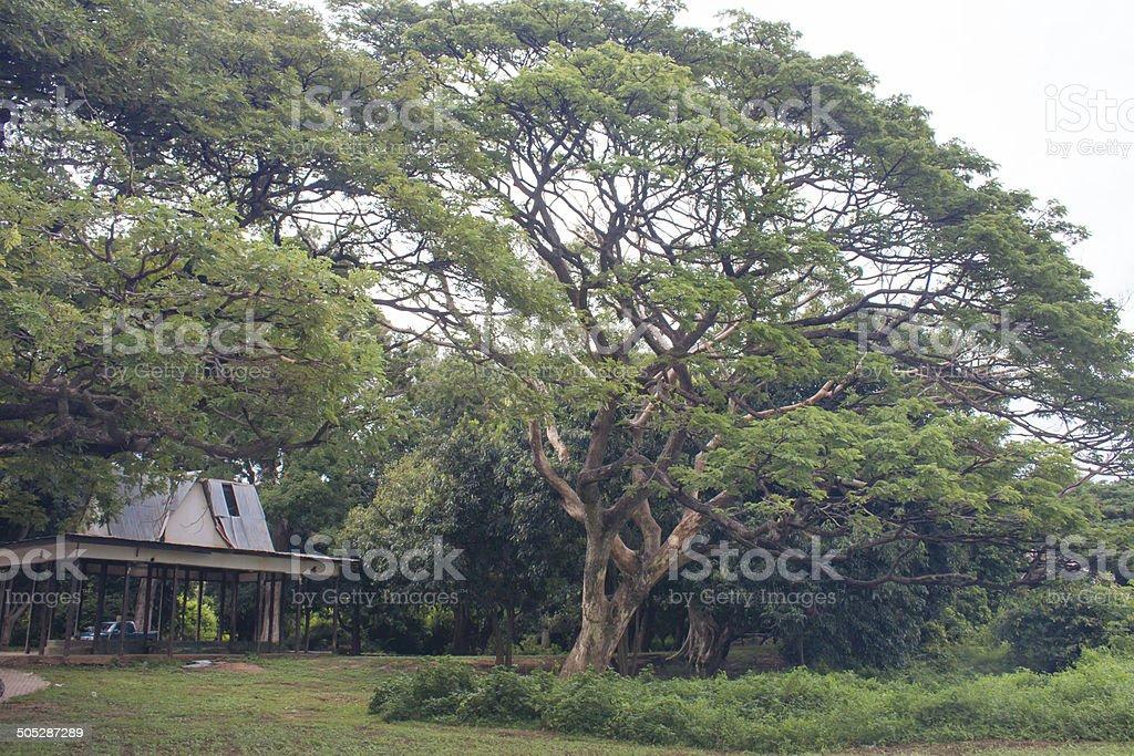 Rain Tree Big Tree River in Thailand stock photo