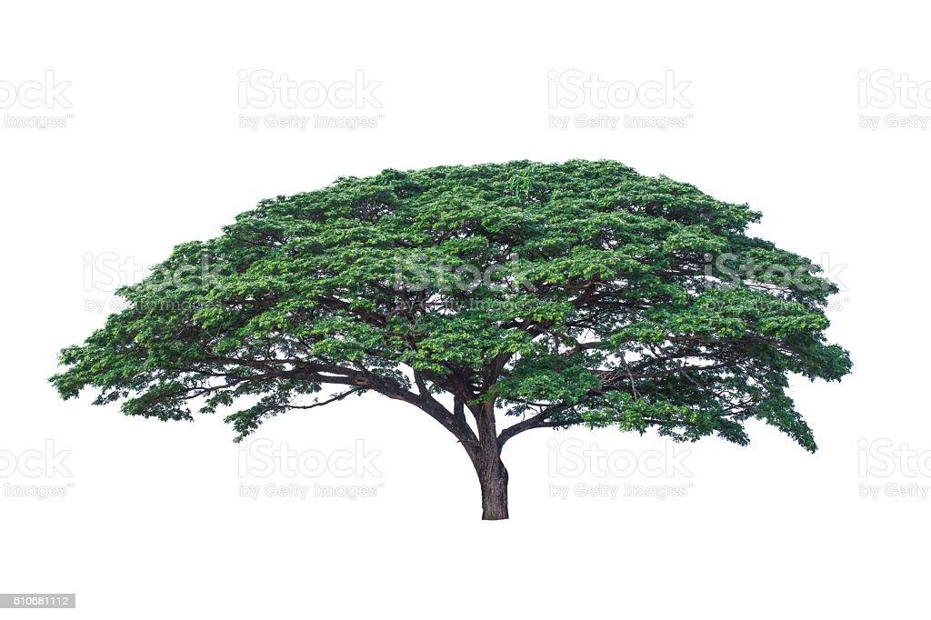 Rain tree isolate on white background stock photo