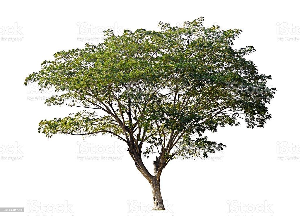 Rain tree isolated on white background stock photo