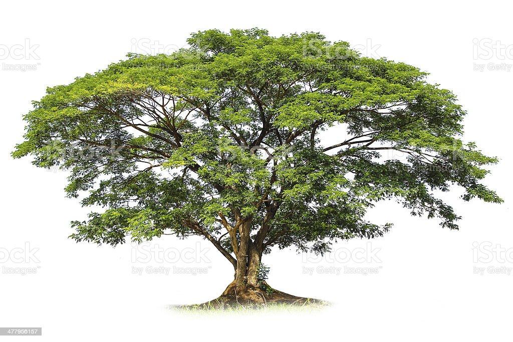Rain tree isolated stock photo