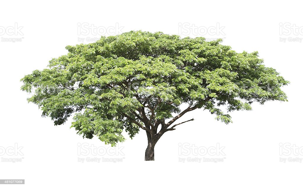 Rain tree (Samanea saman) stock photo