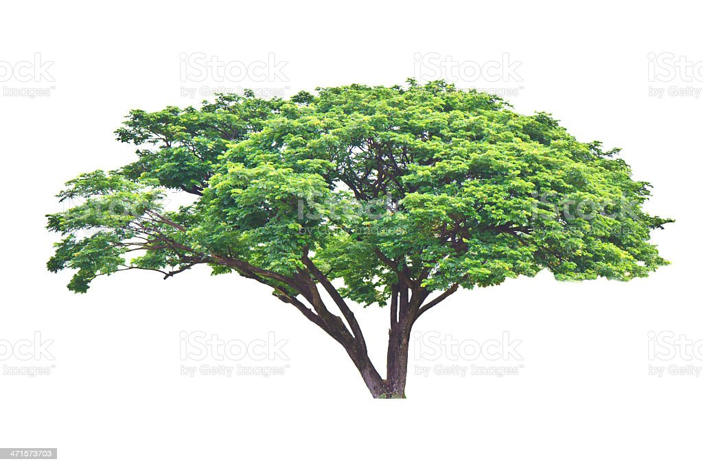 Rain tree royalty-free stock photo