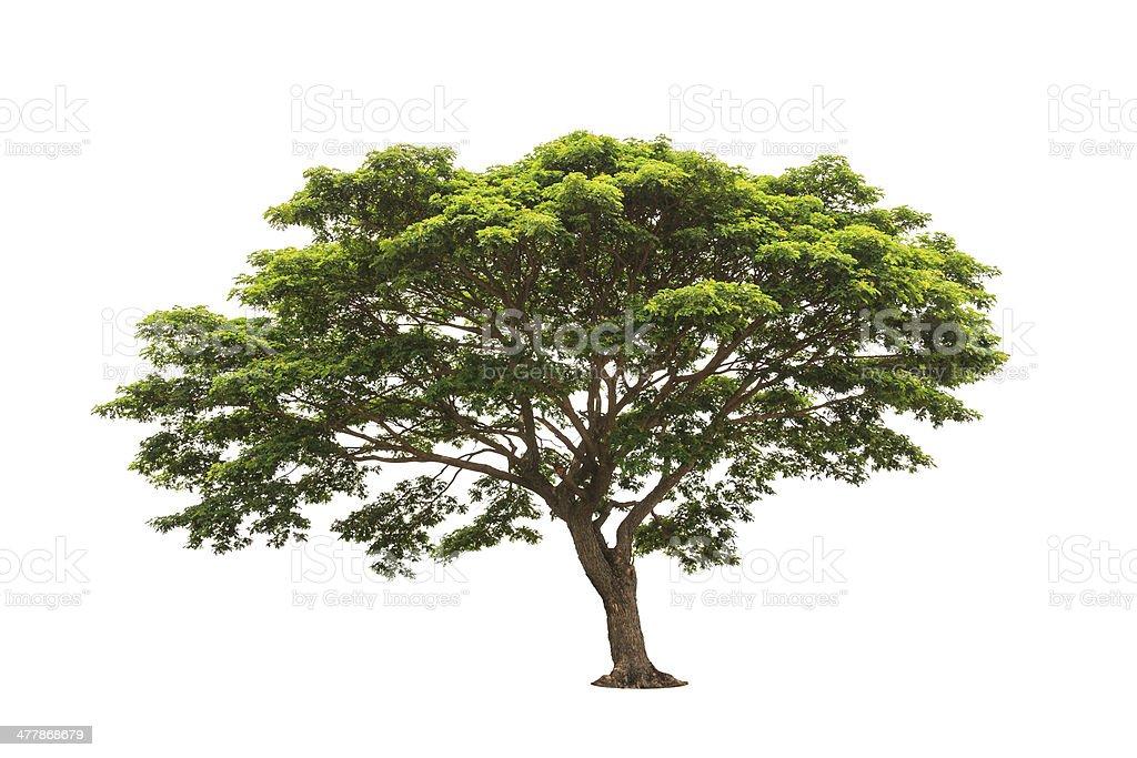 Rain tree (Albizia saman) stock photo
