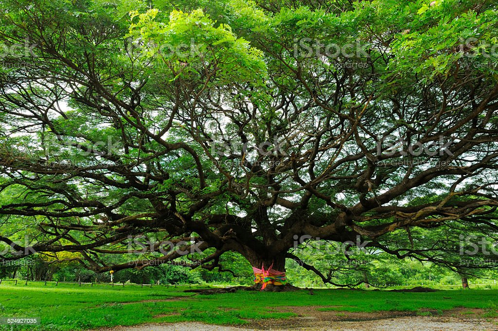 Rain tree stock photo