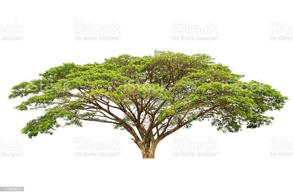 Rain tree (Albizia saman), tropical tree stock photo