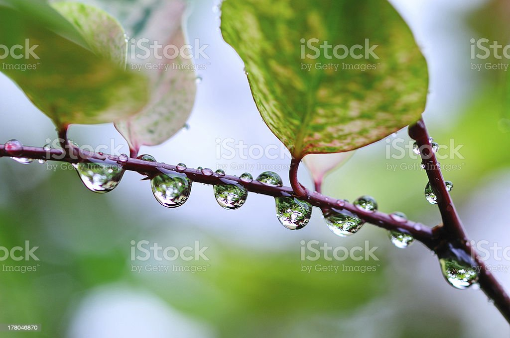Rain Water Drops on Plant with Green Leaves stock photo