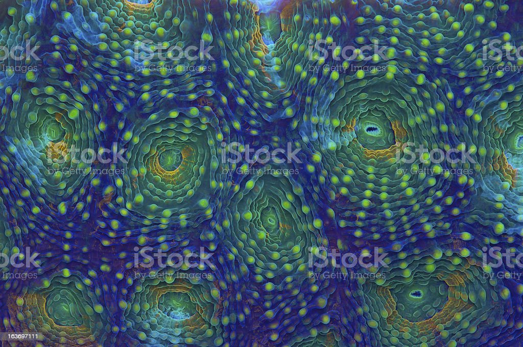 Rainbow Acanthastrea stock photo