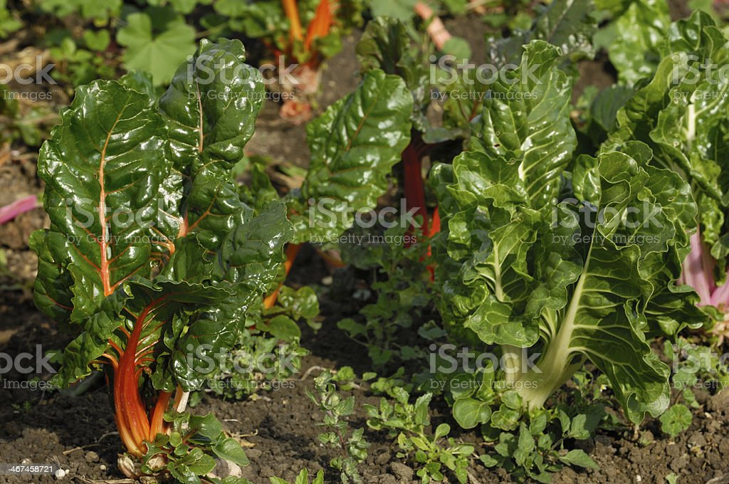 Rainbow Chard Growing in Field stock photo
