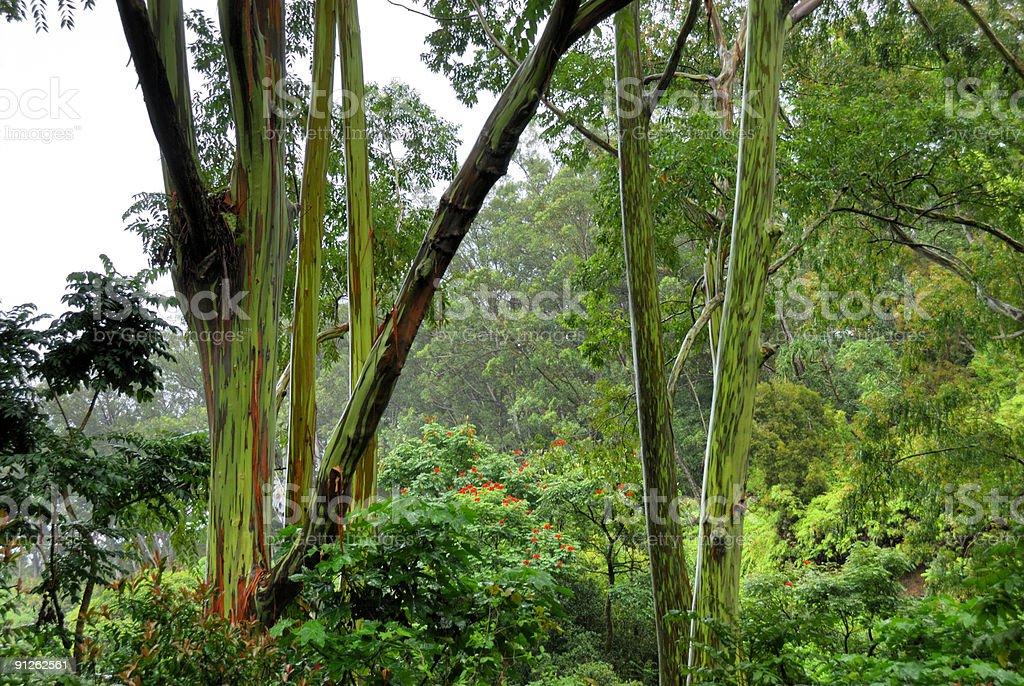 Rainbow  Eucalyptus Trees In Rain Forest royalty-free stock photo