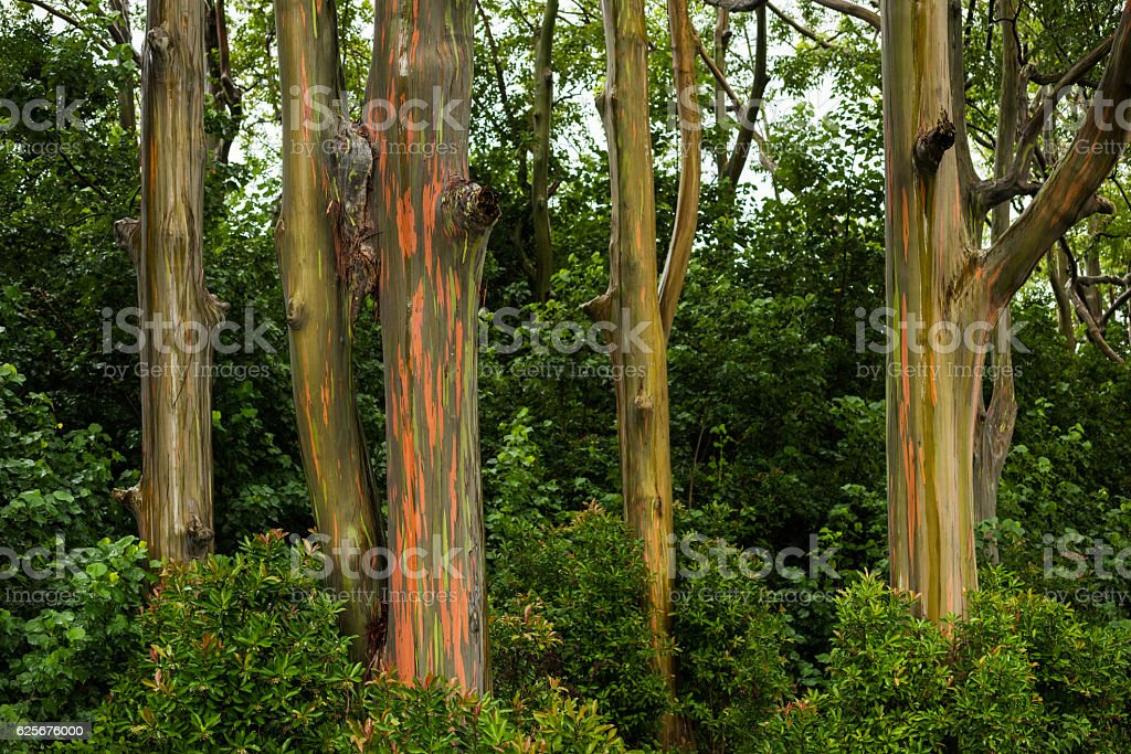 Rainbow Eucalyptus Trees on the road to Hana, Maui stock photo