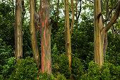 Rainbow Eucalyptus Trees on the road to Hana, Maui