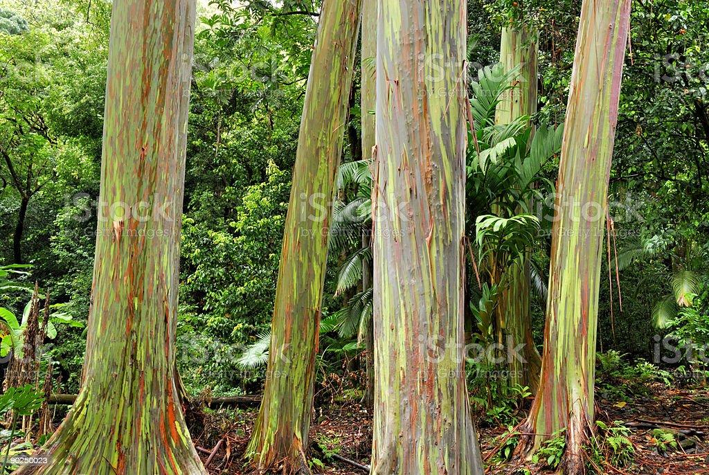 Rainbow Eucalyptus Trees royalty-free stock photo