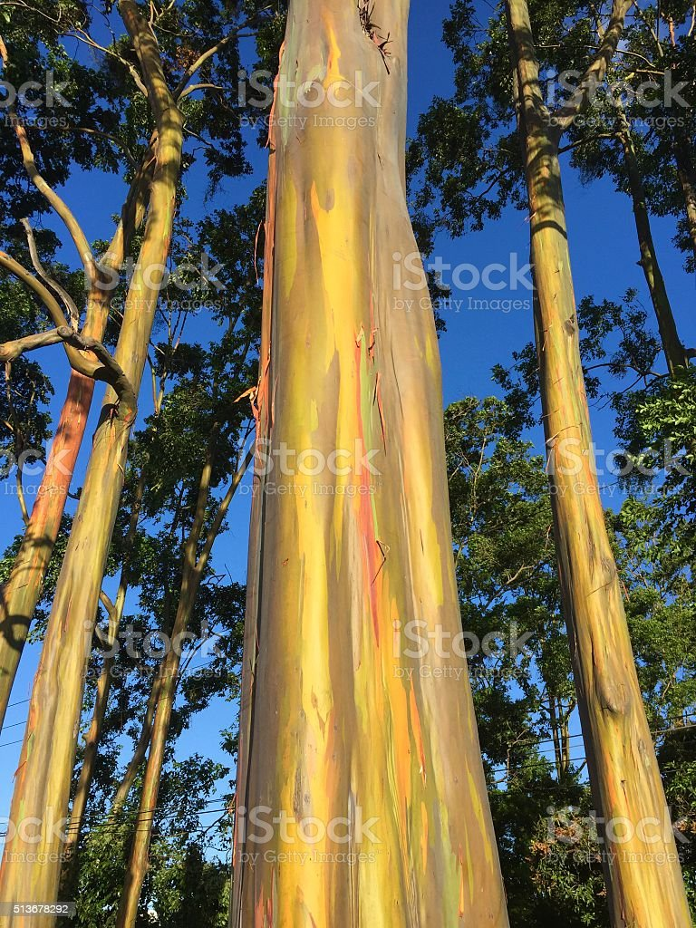 Rainbow Eucalyptus-The most colorful tree on earth stock photo