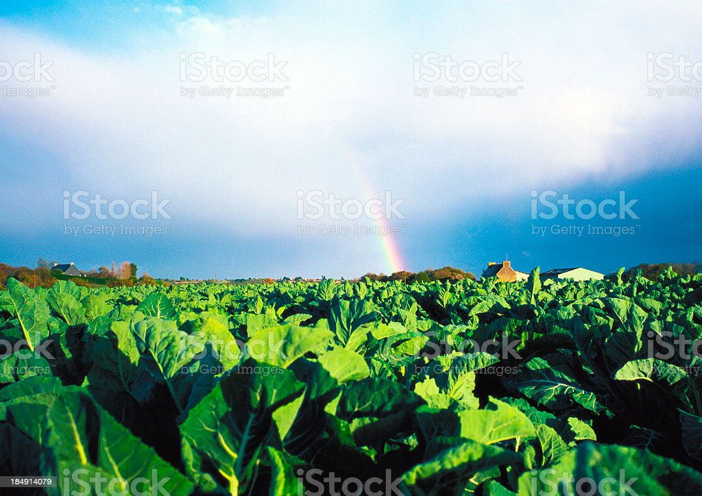 Rainbow in cabbage field - France royalty-free stock photo