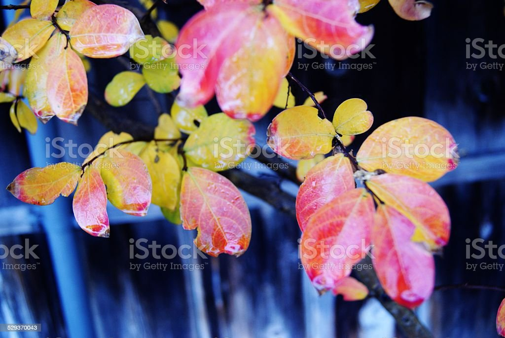 Rainbow Leaves royalty-free stock photo