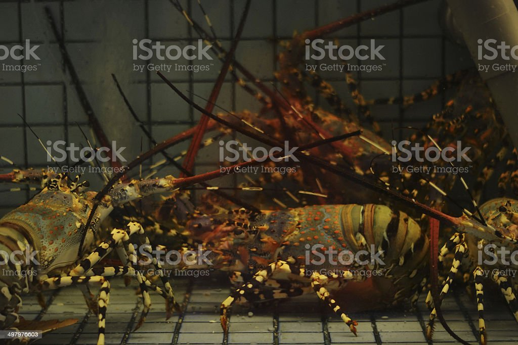 Rainbow Lobsters royalty-free stock photo
