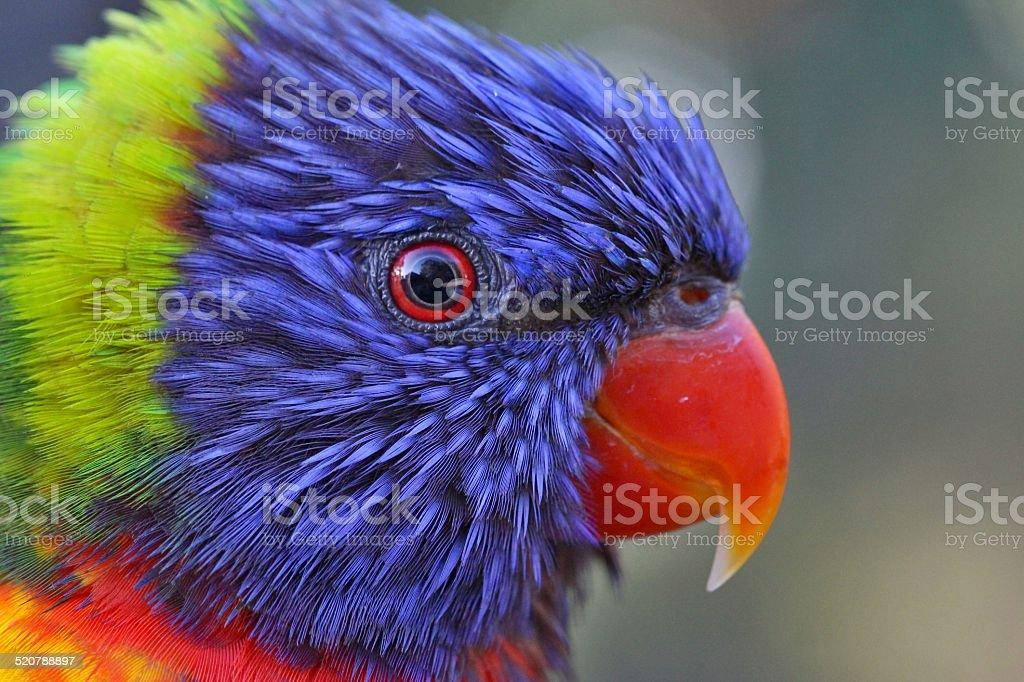 Rainbow Lorikeet 2 stock photo