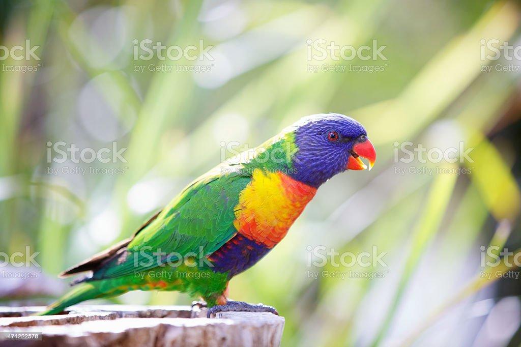 Rainbow lorikeet Australia stock photo