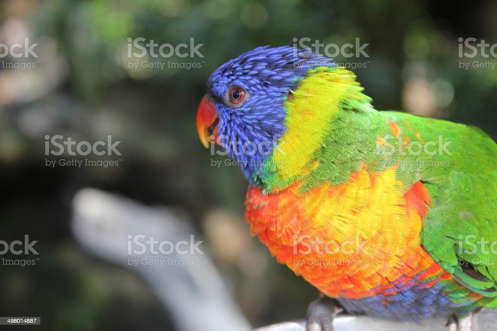Loro arco iris primer plano foto de stock libre de derechos