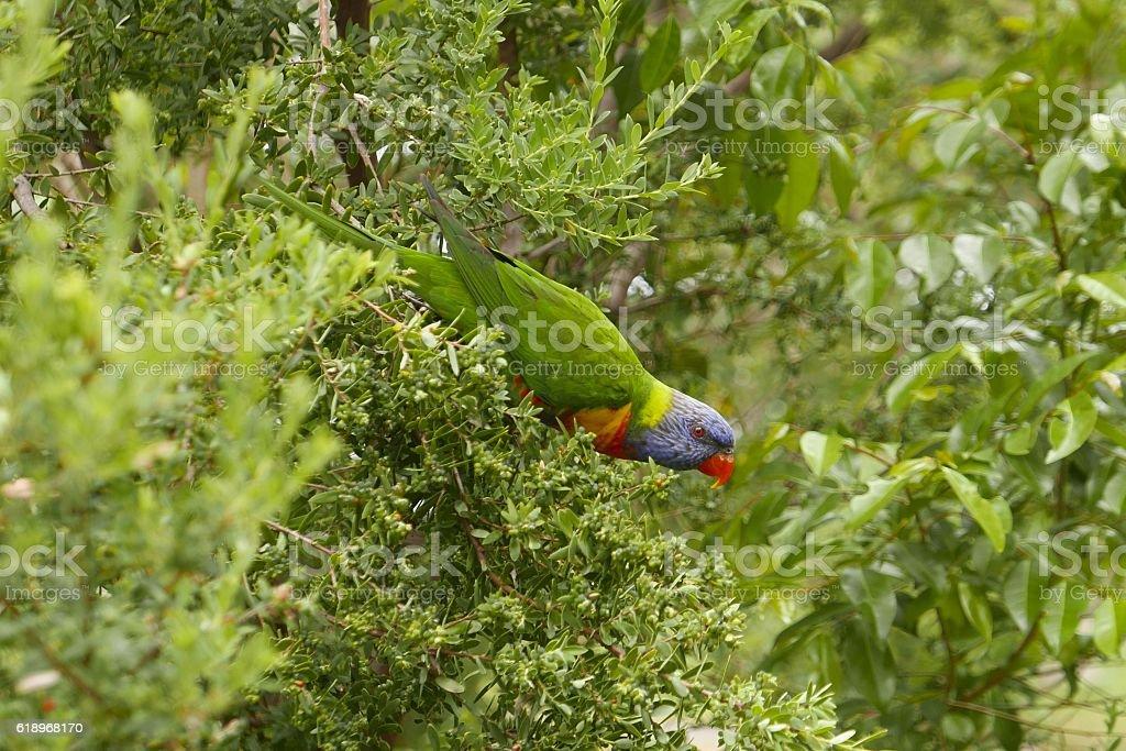 Rainbow lorikeet, colorful parrot in Australia stock photo