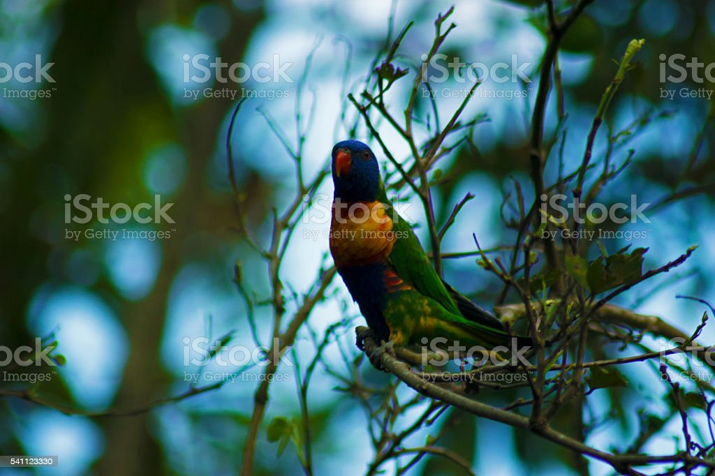 Rainbow Lorikeet, Colourful/Colorful Bird, Parrot stock photo