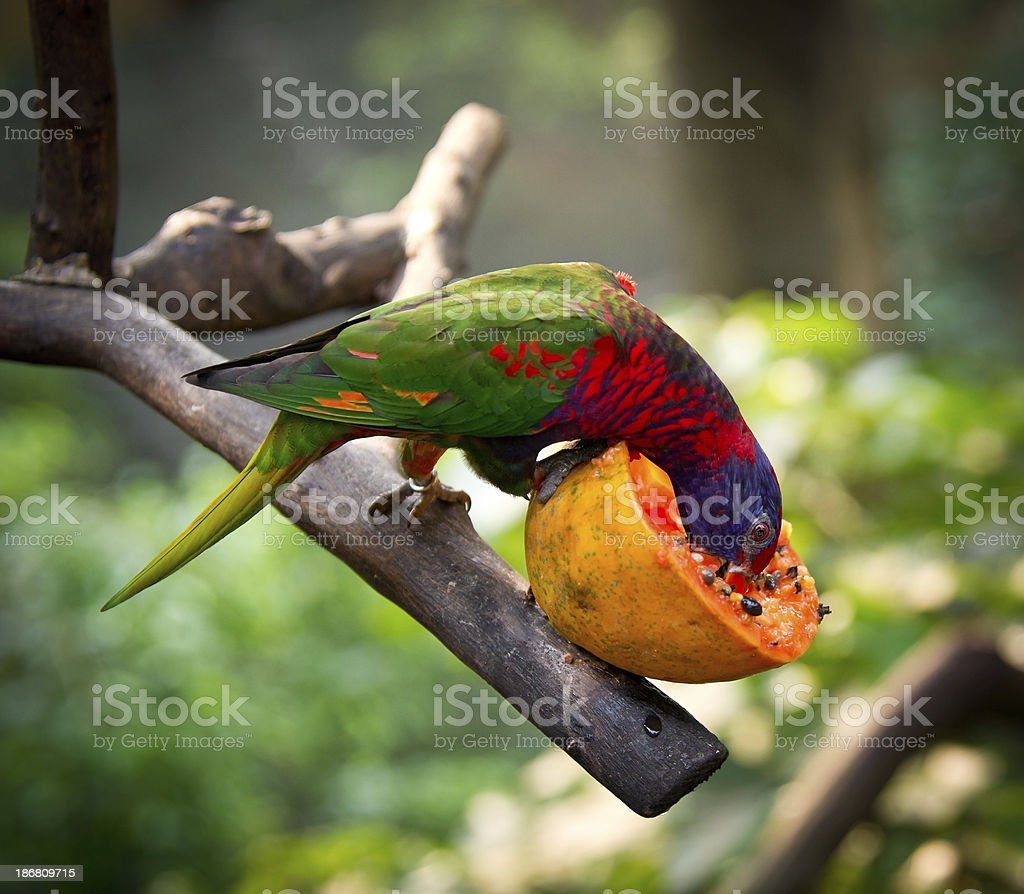 Rainbow Lorikeet Eating Pomegranate stock photo