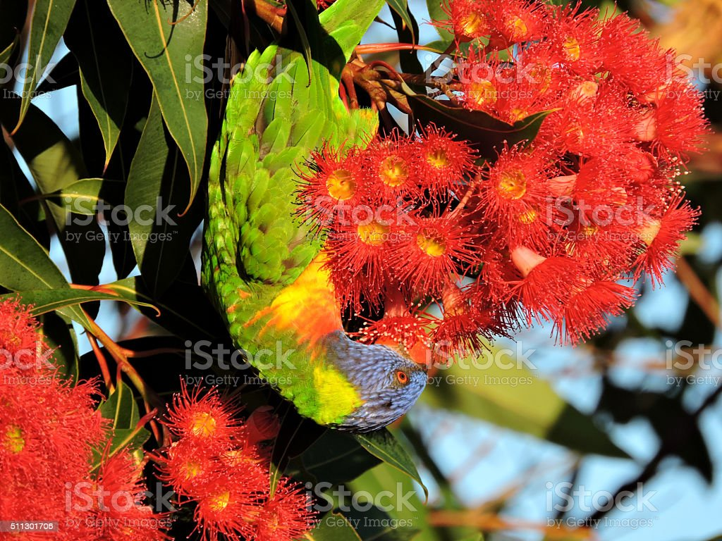 Rainbow Lorikeet eating the gum tree blossoms stock photo