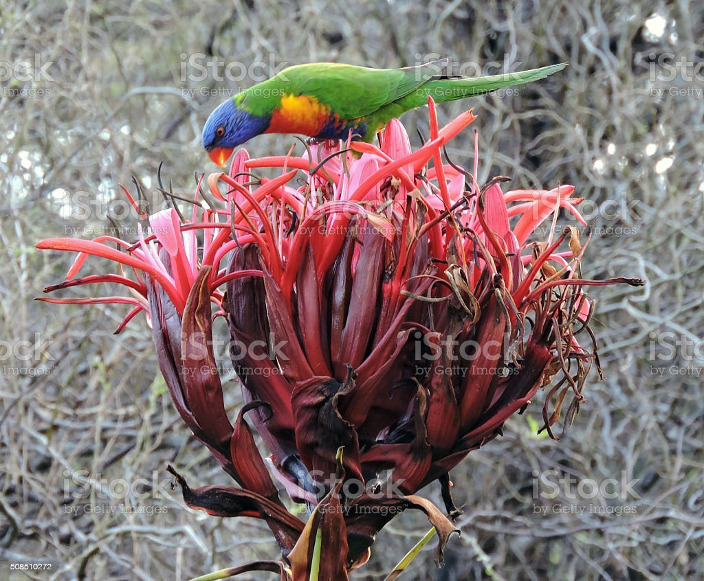 Rainbow Lorikeet enjoying the fruits of the Gymea Lily stock photo