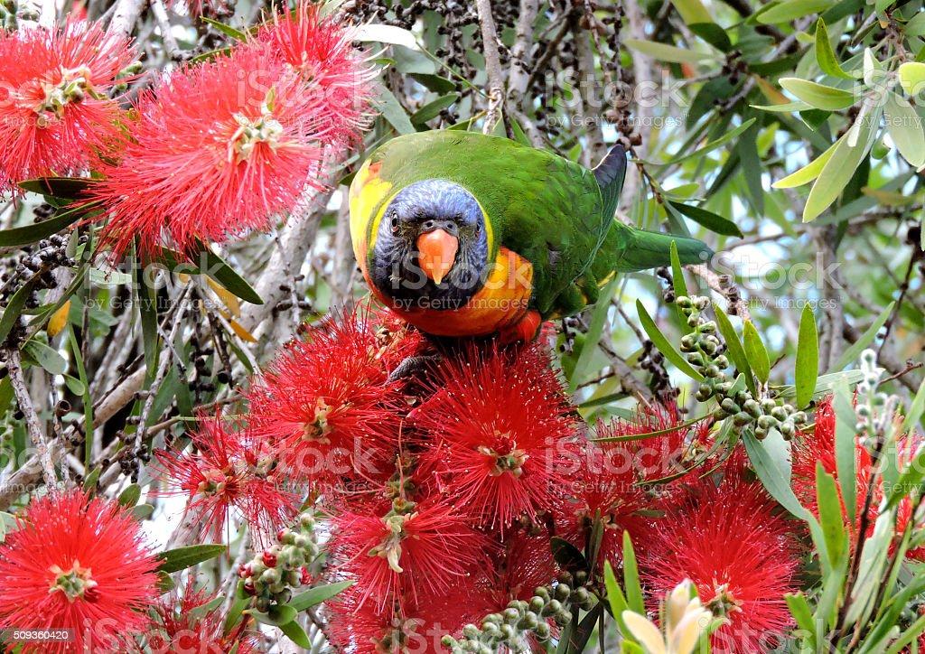Rainbow Lorikeet feeding on the bottlebrush stock photo