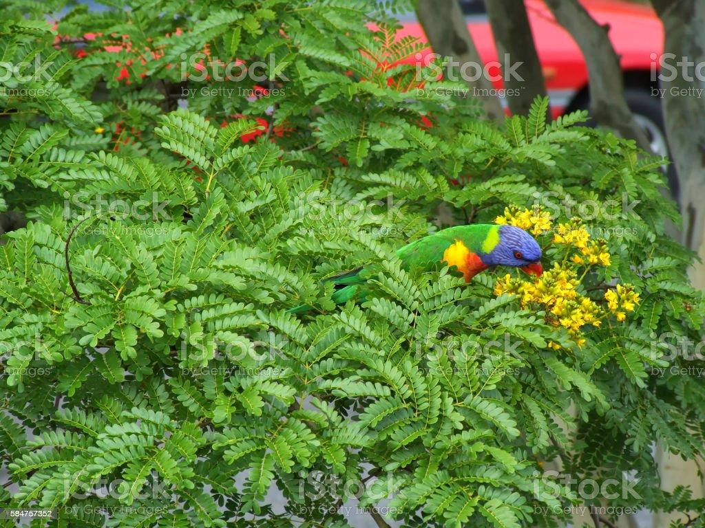 Rainbow Lorikeet in Leopard Tree stock photo